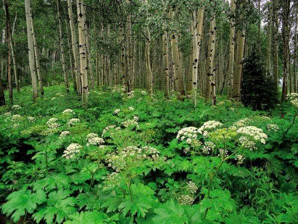 Cow Parsnip and Quaking Aspen, Colorado - 1600x1
