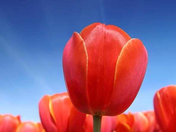 Tulpen in het veld vlakbij Alkmaar (Tulips in a field near Alkma