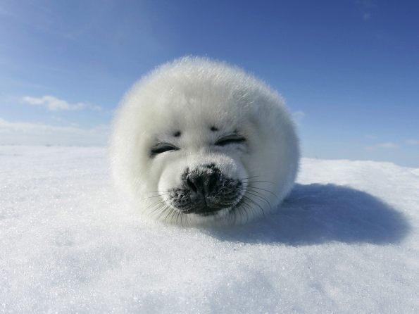 Harp Seal Pup, Greenland